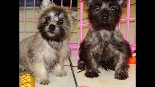 Cairn Terrier, Puppies, For, Sale, In, San Jose, California, Ca, Ontario, Santa Rosa, Rancho Cucamon