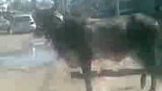 Cow run away in nazimabad