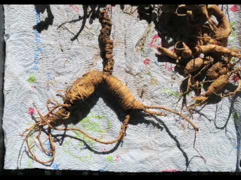 Alabama Wild Ginseng- Digging Ginseng