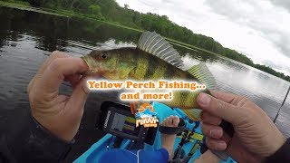 Found a school of yellow perch and decided to fish for them with a ...