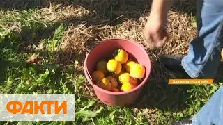Украинская хурма: полезные свойства и как выращивают