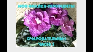 Мои фиалки-первоцветы - очаровательны!