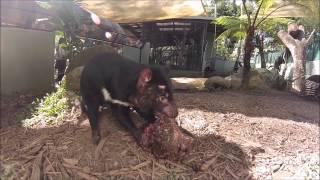 タスマニアデビルは有袋類には珍しい肉食動物です。よくテレビなどでは2...