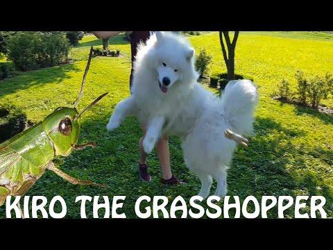 Kiro The Grasshopper