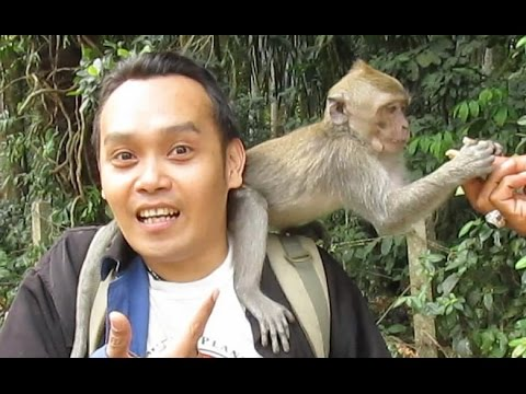 SANGEH - The Long Tail Monkey Forest Kingdom - Wild Life Ani