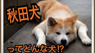 ペットで犬を飼おうと迷っている方へ〜秋田犬〜 世の中には様々な犬種が...