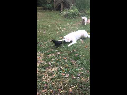 Great Pyrenees playing with a chicken