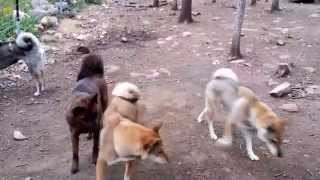 This is a video of me introducing our Shikoku Ken (四国犬) Ahi and ...