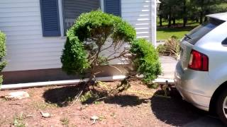 Removing a 25 yo Boxwood with a Brush Grubber
