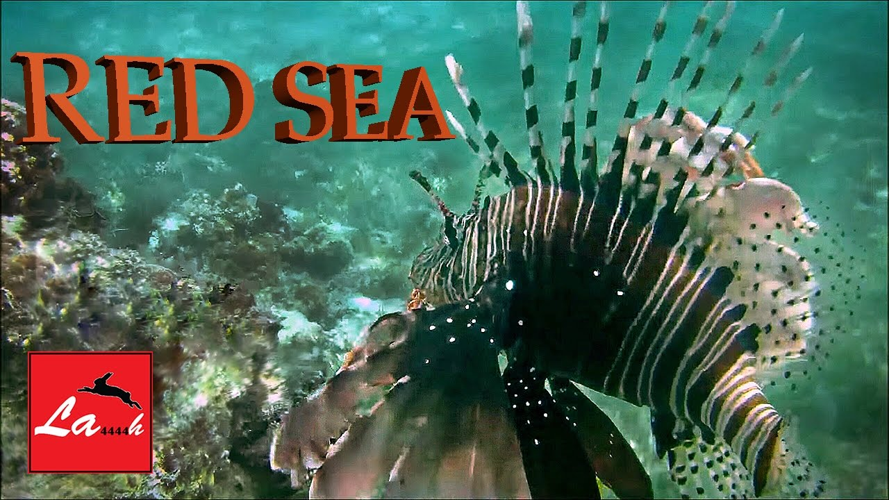Red sea diving in egypt hurghada 1080p lionfish cube for Closest fish store