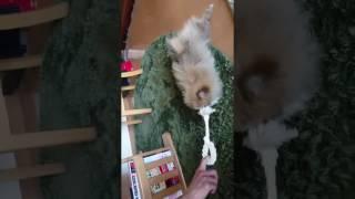 ポメラニアンの仔犬CoCo、引っ張られながら滑ってます。