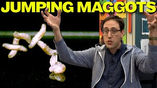 JUMPING MAGGOT! The lance fly, Dasiops vibrissata