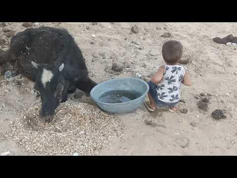छोटी सी बच्ची ने इस गव माता की सेवा की है हिन्दू हो तो इस विडियो को जरूर लाइक करे