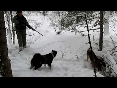 Dogs vs wild boar. Wild boar hunting with dogs. Dogs work on a hunt