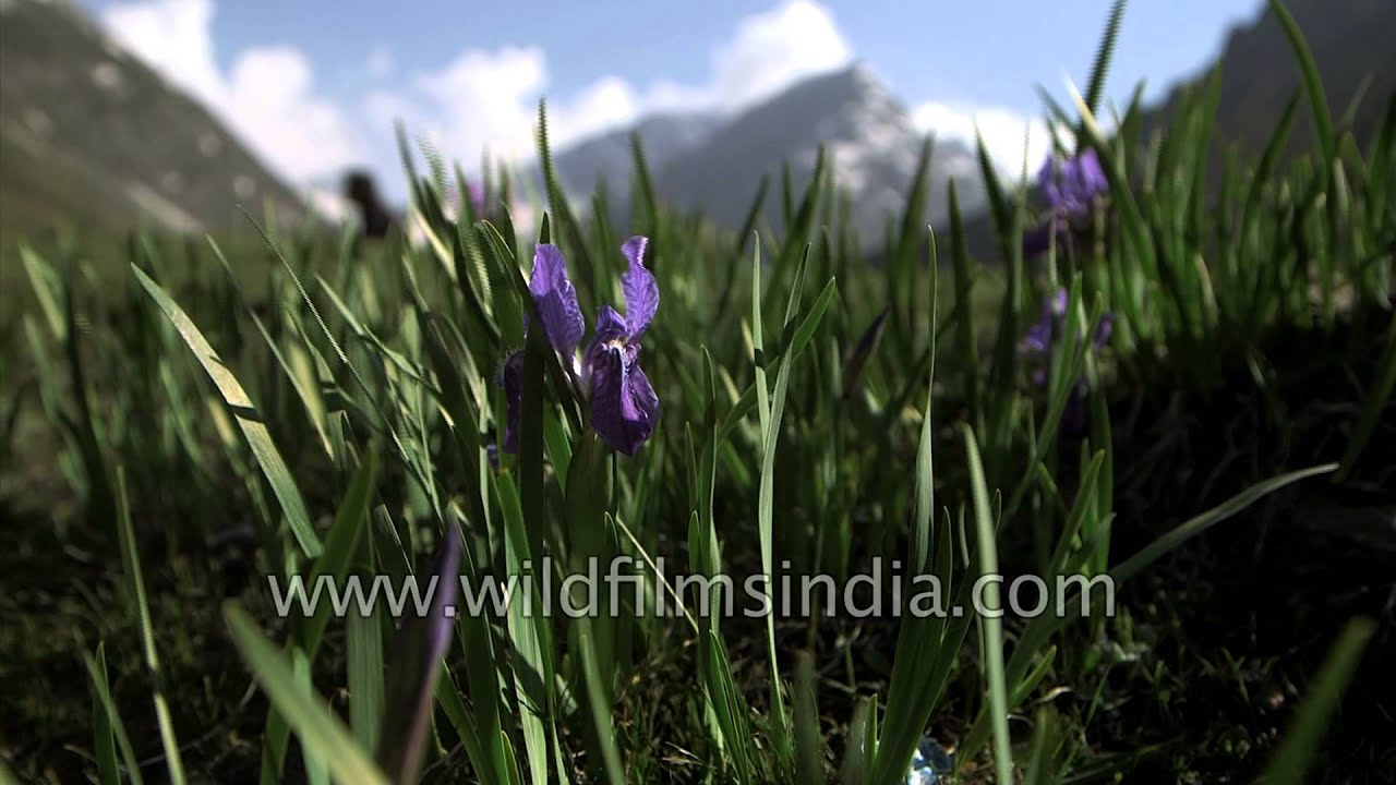 Iris flowers in a himalayan meadow en route amarnath in kashmir iris flowers in a himalayan meadow en route amarnath in kashmir izmirmasajfo