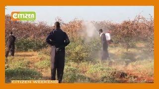Panic grips as locusts invade Rhamu, Mandera County