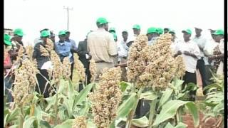 Sorghum farming in Kenya Feature