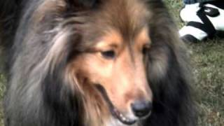 I love Shelties! :) 3 Thumbnail