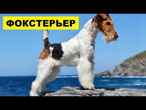 Фокстерьер плюсы и минусы породы Собаководство | Порода собак Фокстерьер