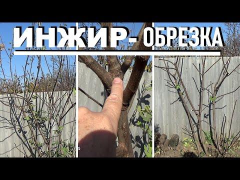 Вопрос: Даст ли плоды дерево инжира, если оно выросло само по себе?