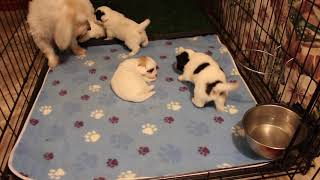 Coton Puppies For Sale - Kiwi 9/30/21