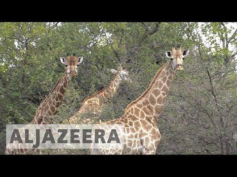 Giraffes in danger: Iconic animal facing extinction