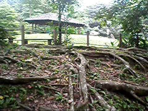 singapore auburn pix 2009 411 big fig tree and sum weird bi