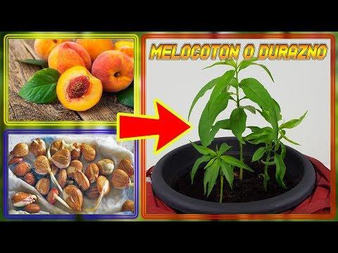 how-to-germinate-durazno-seeds-(germinar-peach)-|-cultivo-paso-a-paso