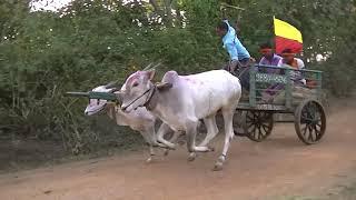 Bulls of Mahalakshmi prasan sakin Sulebavi runs 1260 feet