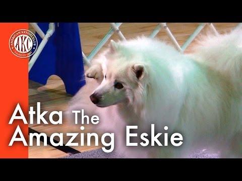 Atka the Amazing Eskie