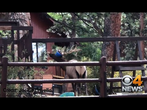 Professional Photographer Catches Bull Elk Caught In Swing Set
