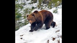 Поиск берлоги бурого медведя