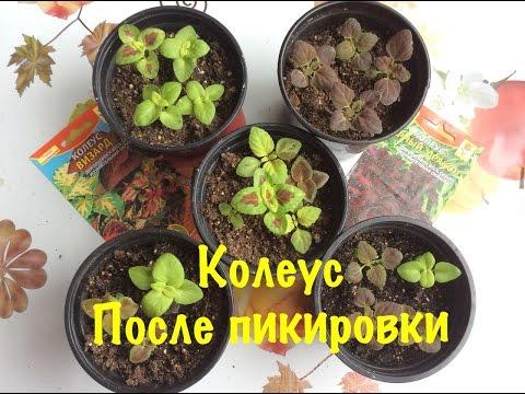 Колеус. Выращивание из семян. Как вырастить Колеус в домашних условиях. ОБЗОР ПОСЛЕ ПИКИРОВКИ.