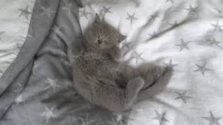 British Shorthair. Everyone is having fun and only one is not willing*cattery Calmcat