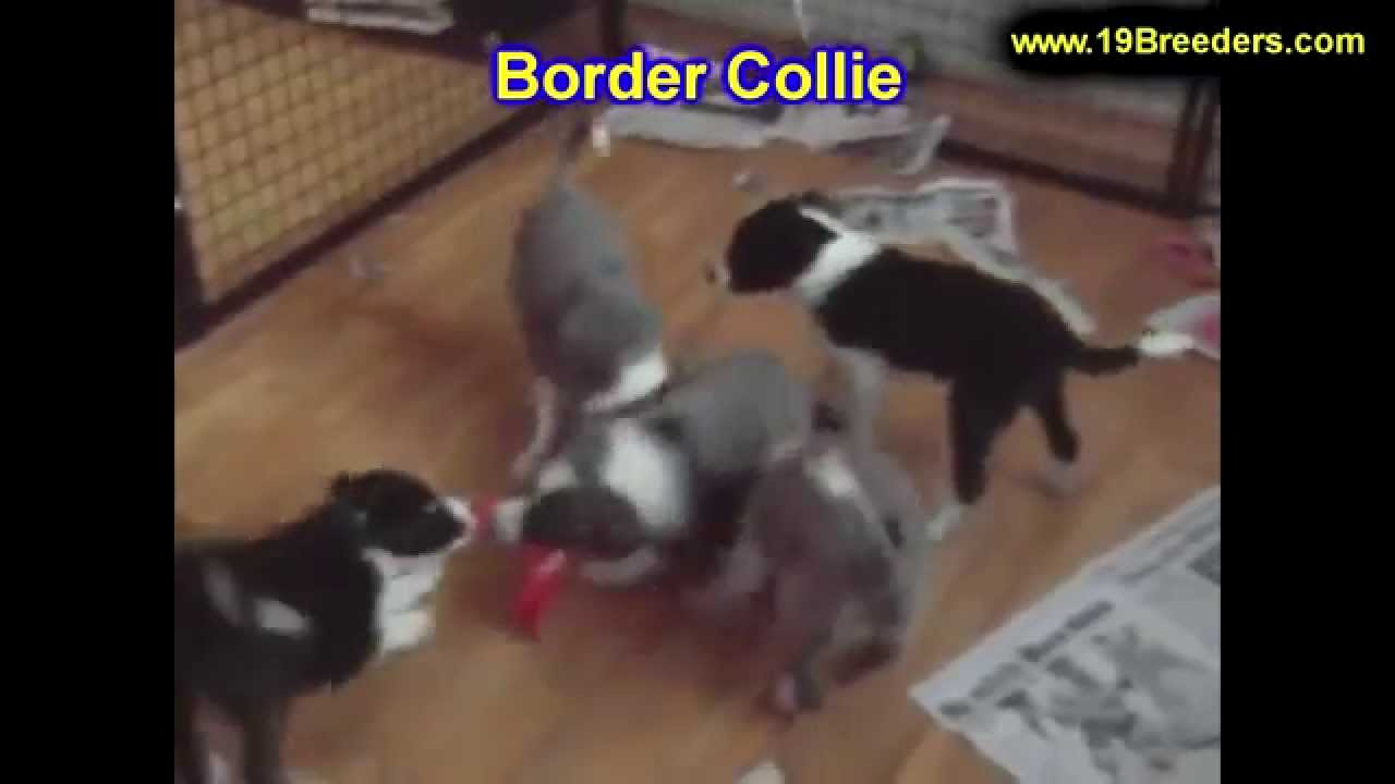 Border Collie, Puppies, Dogs, For Sale, In Saint Louis ...