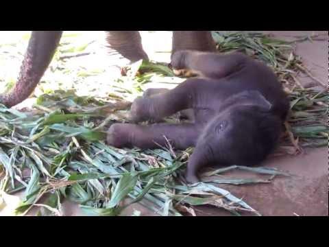 Baby Navann - Elephant Nature Park, Chiang Mai
