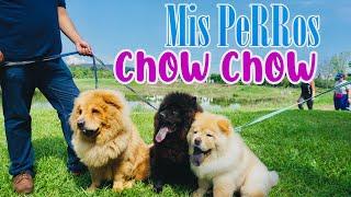 Mis Perros CHOW CHOW  / Aventura en el Parque METROPOLITANO
