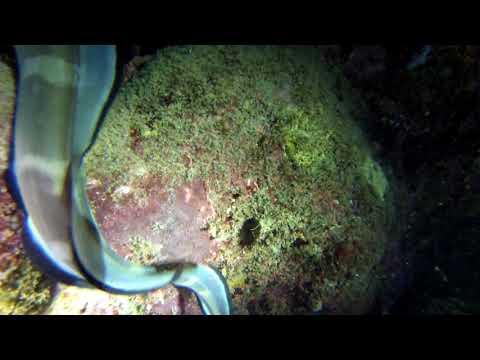 Anguillidae/Freshwater eels/鳗鲡