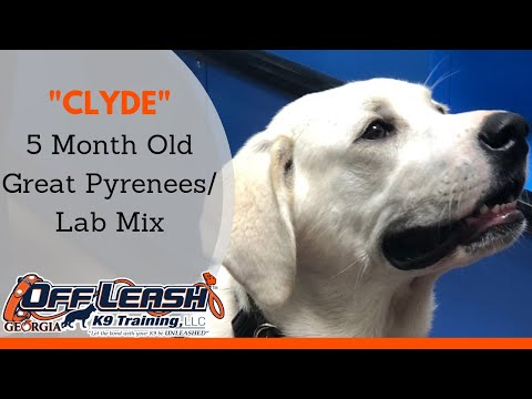 Clyde   5 Month Old Great Pyrenees/Lab Mix   Board and Train Program   Columbus GA
