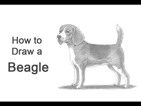 How to Draw a Dog (Beagle)