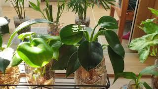 *수경식물 왜키워야 하는가 #가습기효과에 좋은 수경재배