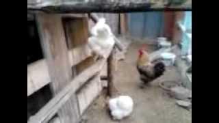 tavuk kümesi böyle olur tokat furkanın kümesi