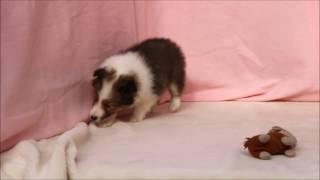 ID番号:10450 犬種:シェットランドシープドッグ 性別:女の子(牝、雌...