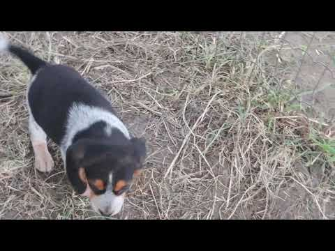 Bluetick Beagle and Tricolor Beagle puppies