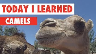 Today I Learned: Camels