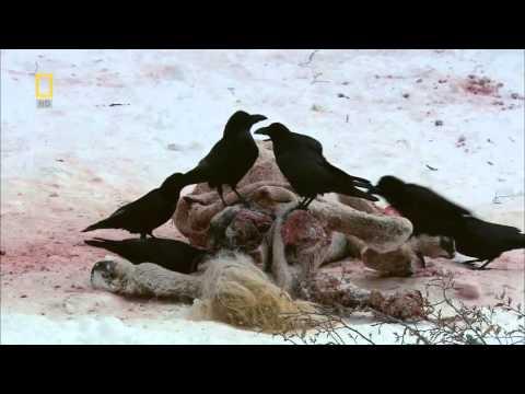 National Geographic Wild Russia Siberia [Animal Documentary]