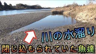川の水溜りに閉じ込められていた魚の中に『ブルーな魚』がいた!!