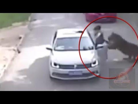 Тигр утащил женщину после ссоры с супругом