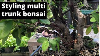 Styling multiple trunk bonsai - quince bonsai multi trunk styling