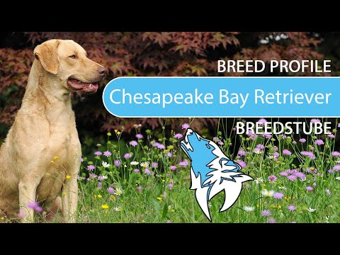 Chesapeake Bay Retriever [2020] Breed, Temperament & Training